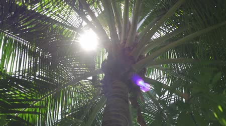 пальмовые деревья : Palm tree with sun shining through leaves. The suns rays shining through the leaves of the palm tree Стоковые видеозаписи