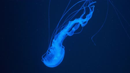 deadly : fluorescent jellyfish swimming in an aquarium pool. transparent jellyfish underwater shots with a glowing jellyfish. Jellyfish swimming loop blue..