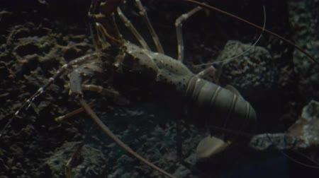 submerso : Lobster Walking On Coral Reef In Search Of Food. Stock Footage