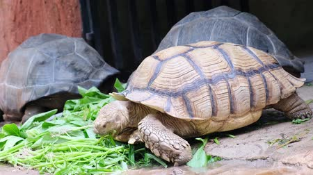 munch : Galapagos tortoise. Big turtle. The concept of animals in the zoo. Pattaya Zoo, Thailand Stock Footage