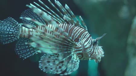 löwe : Lionfish. A colorfull lionfish in the aquarium of the institute of marine science Burapha university at Chonburi Thailand, Pattaya