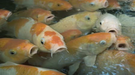 장식 정원 : Colourful Koi carp. Colourful and vivid Koi carp swimming around in a pond in Thailand