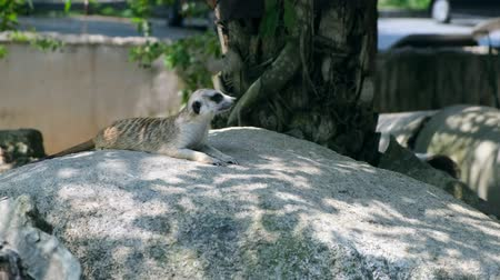 живая природа : Sweet Mongoose. The concept of animals in the zoo.