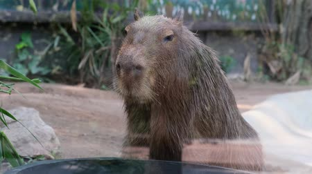 pastar : Capybara. The capybara Hydrochoerus hydrochaeris. largest rodent in the world. Capybara sitting on green grass. The concept of animals in the zoo Vídeos
