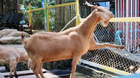 fofinho : Pattaya, Thailand - May 14, 2019: People with grass to feed and give grass to goats at the zoo Stock Footage