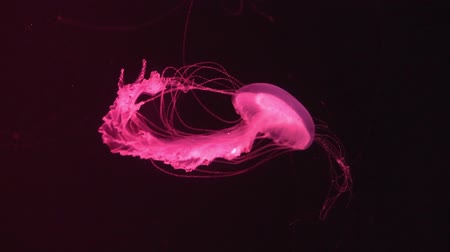 bezmotorové létání : fluorescent jellyfish swimming in an aquarium pool. transparent jellyfish underwater shots with a glowing jellyfish. Jellyfish swimming loop red.