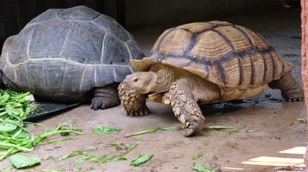 animais em extinção : Galapagos tortoise. Big turtle. The concept of animals in the zoo