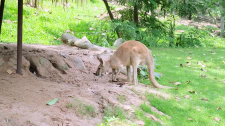 pastar : Red Australian adult Kangaroo eating grass. Kangaroo grazing on green landscape, with another kangaroo in the background. Concept of animals in the zoo
