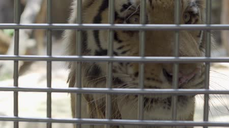 gato selvagem : lonely sad white tiger no freedom in the cage. Concept of animals in the zoo Stock Footage