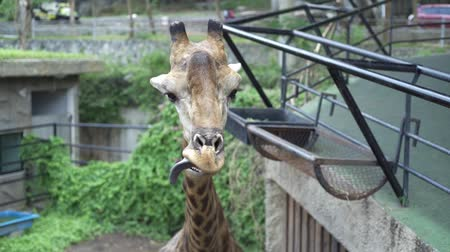 sivilceli : Cute Giraffe. The concept of animals in the zoo Stok Video