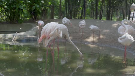 greater flamingo : A group of flamingo birds on a lake in a zoo. Concept of animals in the zoo.