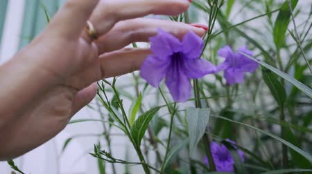 fragilidade : Female hand picks a purple flower, close-up