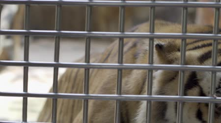 cativeiro : lonely sad white tiger no freedom in the cage. Tigers are fed in the cage. Concept of animals in the zoo
