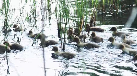 bird family : Little ducks on the river Full HD Stock Footage