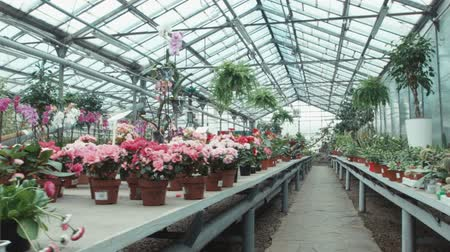 герань : The greenhouse with flowers Стоковые видеозаписи