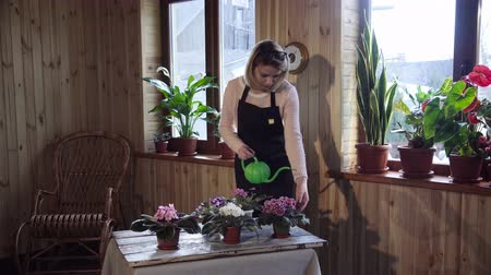 kötény : Top view of young blond woman in long sweater watering violets flowers on window ledge inside home Stock mozgókép