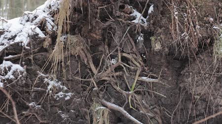 změť : root system of the fallen tree ripped out of the snow forest Dostupné videozáznamy