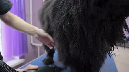 олененок : dog grooming Chow Chow in the salon 4k slow motion