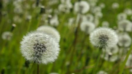 dmuchawiec : White dandelion swayed slightly in the wind