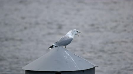 racek : Seagull stand on a pole and scream