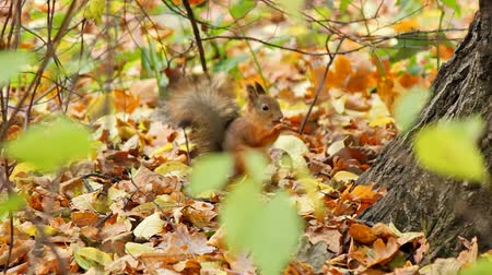 белка : Sequence: Squirrels frolic in the autumn forest