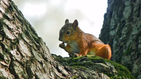 белка : Squirrel eats while sitting on a tree trunk