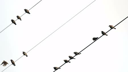 szpak : Birds on wires