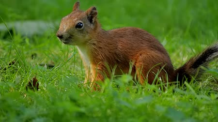 белка : Squirrel jumps and looking for food in the grass
