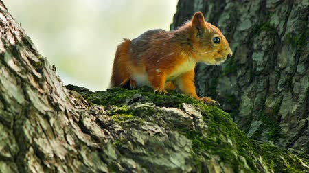 белка : Squirrel watching while sitting on a tree trunk