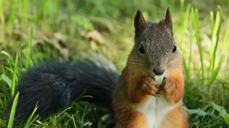 red rodent : Squirrel dines while sitting in the grass Stock Footage