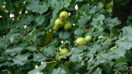 pereira : Pear tree - pyrus pyrifolia