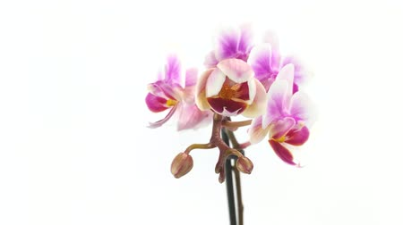 orchid flower is blossoming timelapse on white background