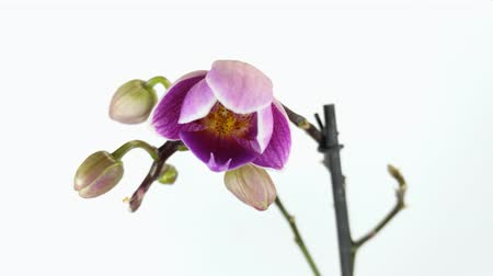 video of orchid flower is blossoming timelapse on white background. Wideo