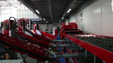 benotung : Clean and fresh apples on conveyor belt in food processing facility, ready for automated packing. Healthy fruits, food production Videos