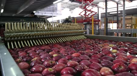 benotung : Sort line for calibration of apples. The work of the sorting line. Red Apples Red Chiff