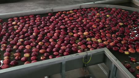 промывали : Sort line for calibration of apples. The work of the sorting line. Red Apples Red Chiff