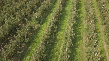 appelboom : Aerial View of apple orchard. Stockvideo