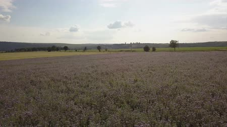 lacy : field of blooming Lacy phacelia (Phacelia tanacetifolia) at a beautiful summer day