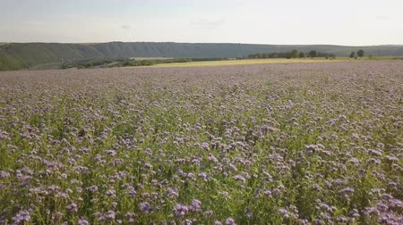 полезный : field of blooming Lacy phacelia (Phacelia tanacetifolia) at a beautiful summer day