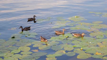yeşilbaş : Ducks swim along the river. wild ducks on the lake eating bread