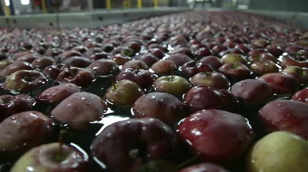 produce market : Apples Floating in Water in Packing Warehouse. Red apples are sorted and washed.