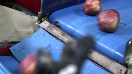 промывали : Clean and fresh apples on conveyor belt in food processing facility, ready for automated packing. Healthy fruits, food production and automated food industry concept. Стоковые видеозаписи