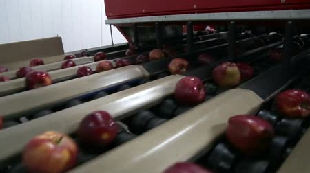 sorted : Sorting line takes pictures of apples. Apples calibration by taking pictures.