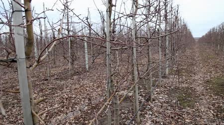 snoeien : Pruning trees in the apple orchard - annual work after harvest