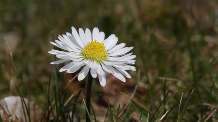 stokrotki : Daisy flower detail moves in wind