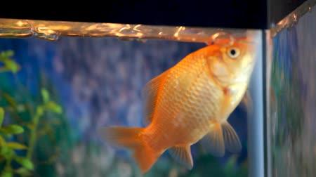 ploutve : Pet goldfish swimming around in the aquarium. Handheld HD 1080.-
