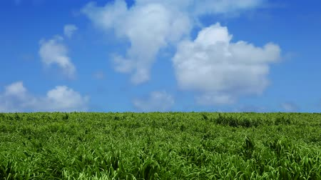 puffy clouds : Wide angle shot of a lush green sugarcane field with  a perfect blue sky and white puffy clouds. Shot on HD 1080p.-