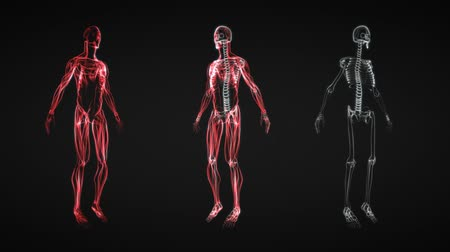 три трехмерные фигуры : This animation shows incredible translucent detail of the human skeleton in 3D. Seamless looping video animation of X-Ray of Human skeleton on black background (HD).-