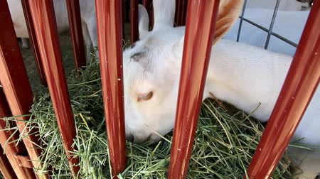 kafes : White goat munching on hay in a cage.-