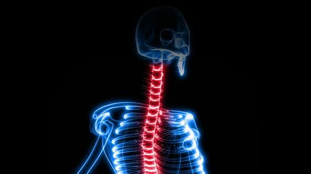 orvostudomány : This version focuses on the spine. Seamless looping video animation of X-Ray of Human skeleton on black background (HD).-